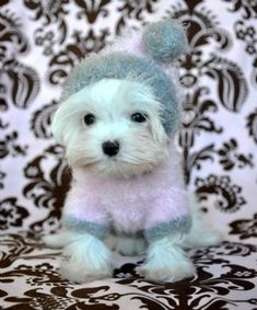 Tiny Teacup Maltese... so cute!