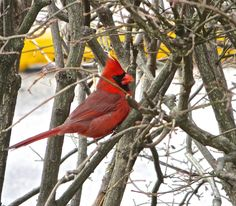 Jan. 11, 2013. Class started four days ago with 10 inches of snow on the ground. Today, it's sunny and 55. It was enough to make this bird sing. Photo by Mark Land
