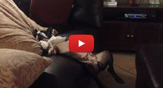 Something Funny to Make you Smile! Boston Terrier Sleeping Fail! Watch here ► http://www.bterrier.com/?p=26531