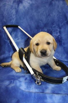 """""""Does my service harness fit ok?"""" via Guide Dogs of America"""