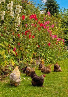 Bantams sunbathe beneath flowering Mallows