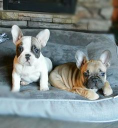 French Bulldog Puppi