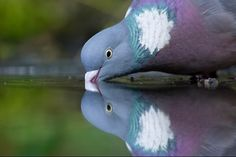鳩 pigeon