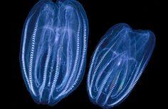 Leidys Comb Jellyfish
