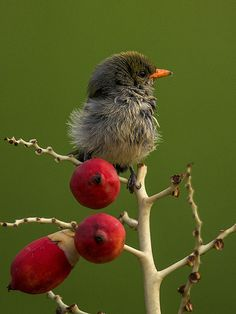 Scarlet Headed Flowerpecker photo share, scarlet head, head flowerpeck