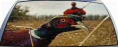 Ring Neck Pheasant Rear Window Graphic Mural is see through from inside.