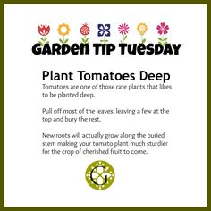 Plant Tomatoes Deep Garden Tip