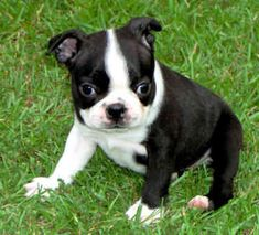 boston terrier ♥