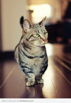 Munchkin Cat. This is the only kind of cat I want. I mean look at those legs!