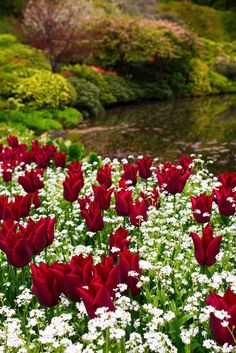 eyesfornature:      2013 Trip to Butchart Gardens by James O'Donnell Beauti Gorgeous, Red, Garden Design, Pretti Flower, Flower Landscap, Butchart Gardens, Beauti Tulip