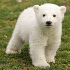 Polar Bear❤️
