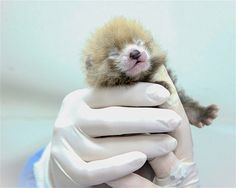 BABY PANDA : July 6, 2014: An employee holds a red panda cub at the Smithsonian National Zoo in Washington, DC, on June 26. Red panda Regan gave birth to two cubs on June 16, though one cub was stillborn. The surviving cub is receiving round-the-clock care to increase its chances of survival. Keepers took extra steps to prepare for the birth, as Regan has neglected her cubs in the past. READ AT SOURCE