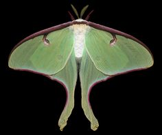 A female Luna Moth (Actias luna) with a wingspread of 101 millimeters. Photo: Jim des Rivières