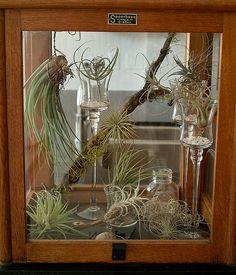 airplant terrarium, plant display, air plant