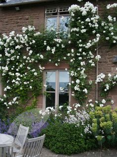 Rose Rosa Climbing Iceberg - one of the most reliable climbers, this repeat-flowering, climbing rose looks gorgeous silhouetted against a sunny house or garden wall.