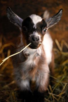 Just a goat, chewing some straw.