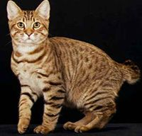 Traits of The American Bobtail
