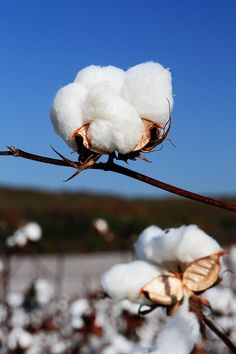 Alabama Cotton...Happy Fall Ya'll!
