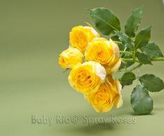 Baby Rio® SUN CITY Spray Rose