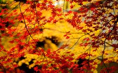 Red Leaves on Yellow