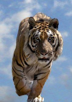 Amazing charging tiger