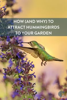 Hummingbirds are entertaining, and good for your garden. Learn how to make hummingbird food, the best feeder to serve it in, and how to attract hummingbirds to your yard.