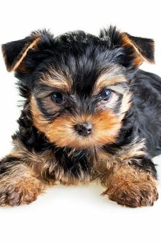 This Yorkshire puppy is so cute.