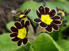 Gold Laced Primula.