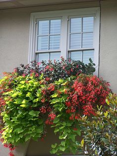 the best show stopper with window boxes - sweet potato vine......