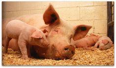 Vi vill att djuren ska ha det bra i Sverige, Europa och i världen! Varje år slaktas drygt 85 miljoner djur i Sverige för att bli kött. De Svenska lantbruksdjuren lever ofta under mycket hårda förhållanden. Enligt den svenska djurskyddslagen ska alla djur skyddas från onödigt lidande och ha rätt att bete sig naturligt. www.djurensparti.se