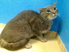 URGENT! SWEET 3-year-old MAMITA NEEDS A FOSTER OR ADOPTER NOW!! MAMITA IS ON THE NYCACC MON., JUNE 10, 2013 EUTHANASIA LIST! At Brooklyn Center  My Animal ID # is A0967577. I am a neutered male gray tabby domestic sh mix. The shelter thinks I am about 3 YEARS old.  I came in the shelter as a OWNER SUR on 06/05/2013 from NY 11231, owner surrender reason stated was MOVE2PRIVA. I came in with Group/Litter #K13-139924.