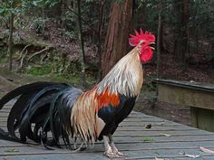 Very handsome rooster