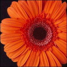 gerber daisies, colors, favorit flower, gerbera daisi, wedding flowers