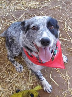 Gus  Cattle Dog  Colorado