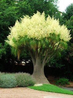 Ponytail Palm / Elephant Foot Palm native to dry, desert regions of Mexico and the southern United States.