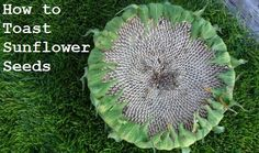 Toasted Sunflower Seeds Recipe | It is easy to grow sunflowers . They do not require a lot of ...