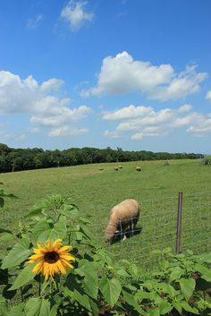 Sheep in summer #hokkaido #japan