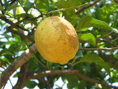 Fragrant lemon from Sardinia