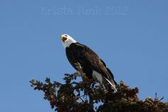 Bald Eagle Screeching for His (Her?) Mate