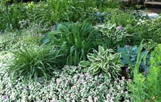 Hostas, daylilies and shade tolerant ground covers such as lamium can grow under a tree