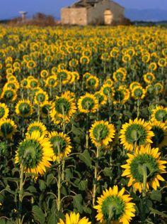 Field of Sunflowers, Oristano, Sardinia, Italy