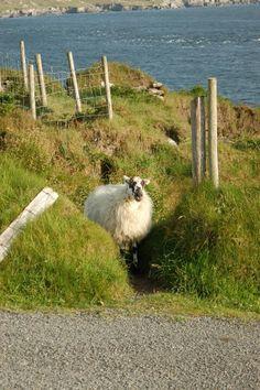 Sheep on Ring of Beara, County Cork, Ireland