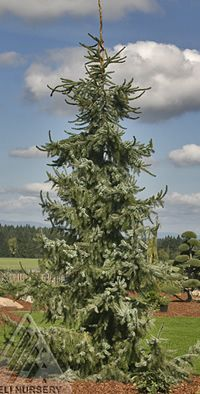 Conifers on pinterest dwarf trees evergreen shrubs and deer - Upright trees for small spaces concept ...