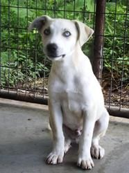 #WVIRGINIA #URGENT ~ Chases' gorgeous blue eyes will steal your heart. He's approx. 3mos old, 20lbs & we think a Catahoula mix #puppy dog. He's a bit shy at 1st meeting new ppl & slow gentle kindness will help him learn trust. He's in need of a loving #adopter or #rescue at PRESTON COUNTY ANIMAL SHELTER 278 Poor Farm Rd #Kingwood WV 26537 pcanimalshelter@gmail.com Ph 304-329-3461 or 304-329-7019