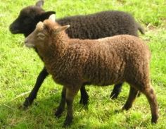 Shetland lambs - color inspiration for the Caress Collection by Shaw