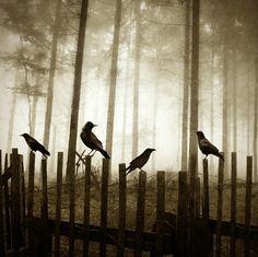 .ravens bird, dark places, the edge, canvas pictures, animal totems, fences, crows, black, ravens