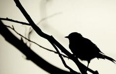 Bird and branch Silhouette