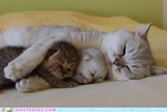 nap time, kitty cats, kitten, sleepy time, mother, cat naps, snuggl, baby cats, sweet dreams