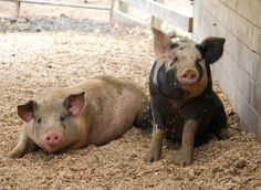 Oink. Photo from the 2012 NC Piedmont Farm Tour. Inspiration for my  next painting! copyright Lisa P Goldstein, 2012.