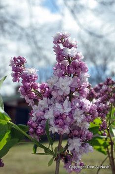 Lilacs can be grown in Oklahoma